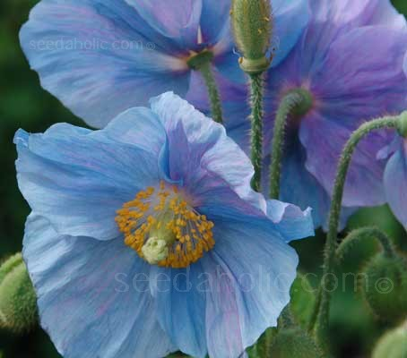Indulge yourself by growing this beautiful blue form of the exquisite Himalayan Blue Poppy..