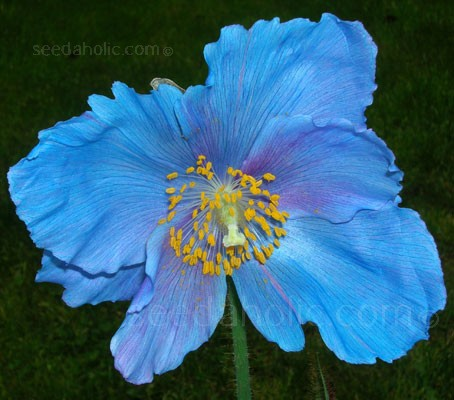 With blue as vivid as a kingfisher's wings, Meconopsis 'Lingholm' is of the most exquisitely beautiful of all flowering plants.