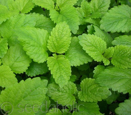 The leaves of lemon balm have the scent of lemon with a hint of mint.