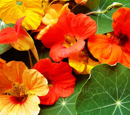 Nasturtium 'Gleam Hybrids' has all the shades you expect, primrose, gold, orange, red and mahogany.