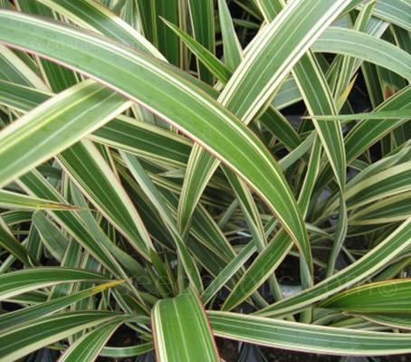 Phormium - Mixed species and hybrids
