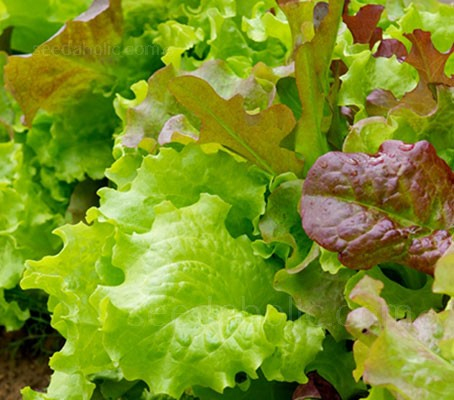 Lettuce 'Gourmet Salad Mix' is a mixed blend of the very best tasting, and most beautiful lettuce varieties.