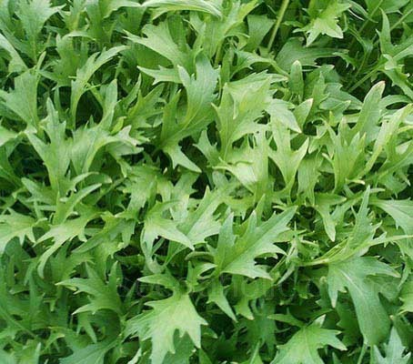Mizuna grows as a large rosette of finely serrated, feathery leaves, which are dark, glossy green, similar to rocket leaves