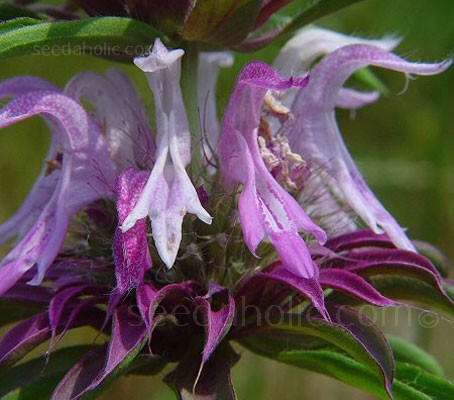 Monarda citriodora 'Lemon Beebalm'