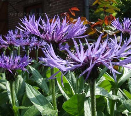 """Centaurea montana or """"Mountain bluet"""" flowers from late spring to early summer."""