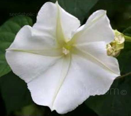The fragrant flowers of Ipomoea alba open quickly at night, releasing sweet perfume into the evening air.
