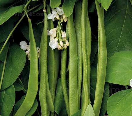Runner Bean 'Moonlight' produces masses of white flowers, which set well even in poor weather or high temperatures.