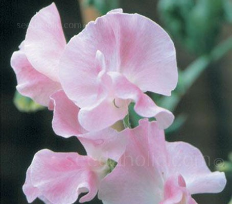 Sweet Pea Nellie Viner has nicely rounded clear pink flowers and is also blessed with the most superb fragrance.