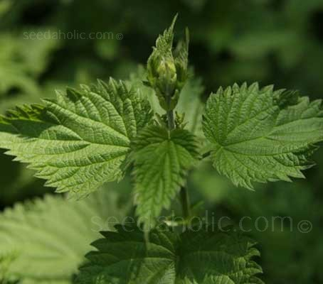 Urtica dioica, the Nettle is one of the most useful plants we have.