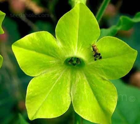 Nicotiana alata 'Lime Green' is a sought after variety which produces a mass of bright green flowers which open fully in the afternoon.
