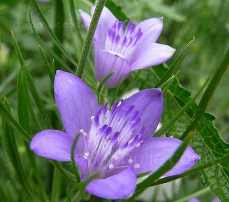 Delicate five-pointed star shaped flowers of violet-blue sit above fine feathery foliage.