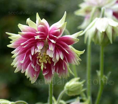 "Nora Barlow is a modern name attached to this ancient type of  ""rose"" columbine"
