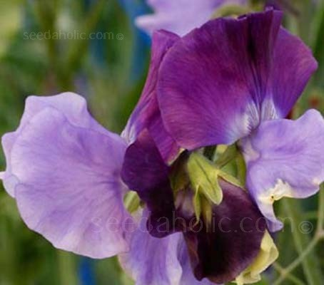 'North Shore' is a bicoloured sweet pea with a navy standard petal and violet wings.