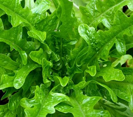 Catalogna Cerbiatta which produces masses of deep lobed leaves which are perfect for baby leaf salads.