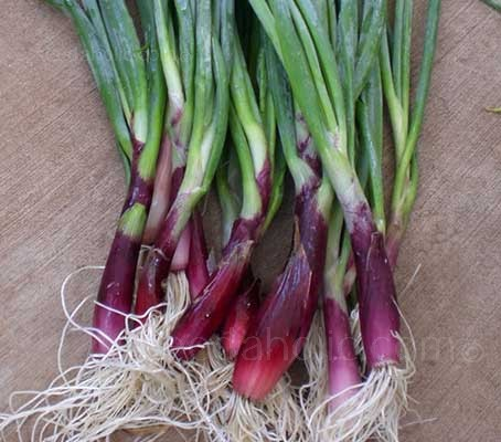 Harvested early and eaten as a mild salad onion or, if left to grow it will produce beautiful red, mild flavoured bulbs