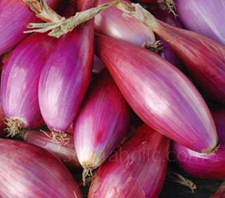 "A splendid carmine-red onion ""Long de Florence Simane"" is an old continental variety."