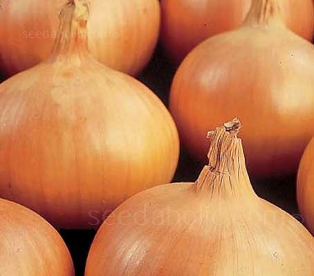 Sturon is an excellent, standard maincrop variety, producing high quality, medium-sized, juicy-fleshed bulbs.
