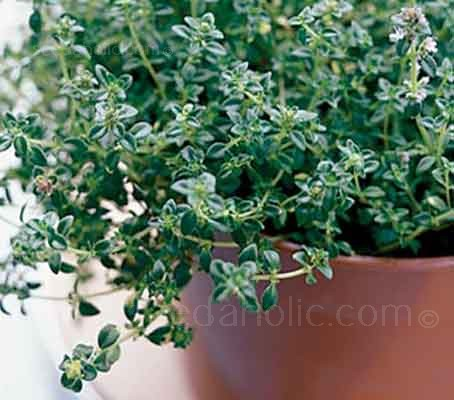 Thyme leaves may be small, but they pack a powerful punch. It retains its flavour well in long slow cooking.