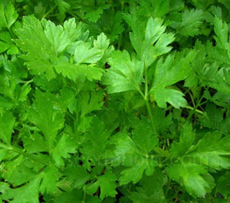 "Parsley, Flat Leaf  ""Italian Giant"" Organic (Collection)"