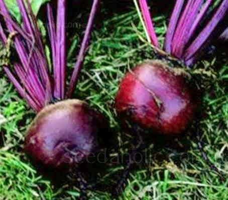 These exceptionally uniform, smooth skinned, perfectly round beets have a wonderfully attractive rich red colouration and excellent skin quality.