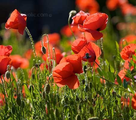 Papaver rhoeas (Collection)