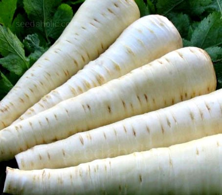 An outstanding hybrid variety, 'Palace F1' produces high yields of smooth, uniform, very white roots.