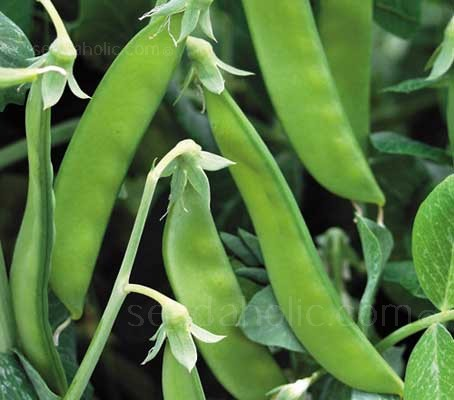 Sugar Pea Norli are best picked whilst small and can be harvested when they reach just 5cm (2in) long for gourmet eating.