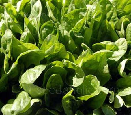 Perpetual Spinach Leaf Beet is one of the easiest and most productive vegetables for a small space