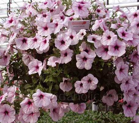Plant breeder Xenia Cascante has done it again. 'Strawberry Sundae' is another unique Grandiflora petunia