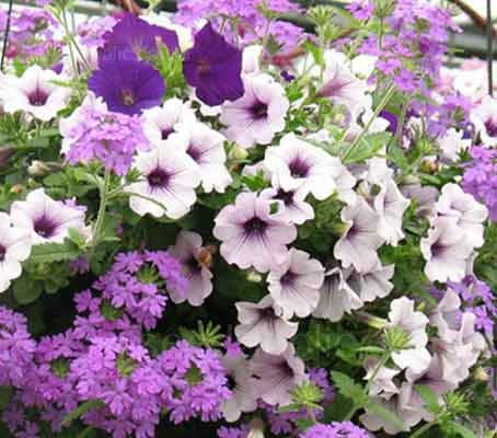 Petunia x hybrida 'F1 Ultra' - Series of Single Colours