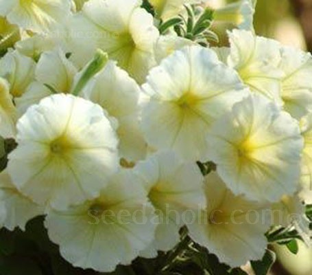 This multiple award winner is considered the best yellow Petunia. The uniform, compact plants that bloom early and heavily.