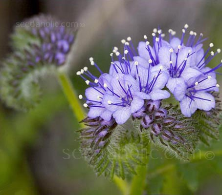 Phacelia is a very attractive plant and one with a variety of uses.