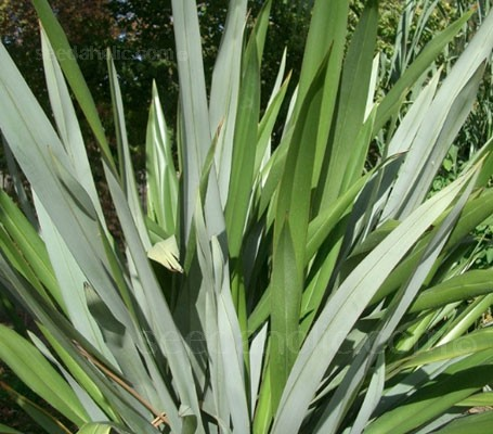 With their arching, strappy, sword-shaped leaves, Phormiums make a dramatic statement in the garden.