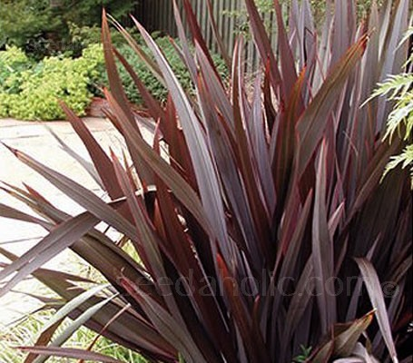 Phormium tenax 'Purpureum' with rich bronze-purple leaves will add valuable winter interest to your garden.
