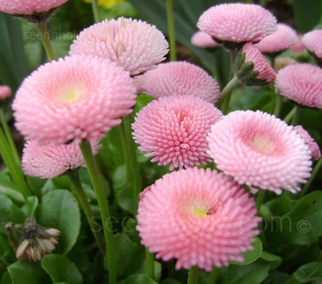 "Bellis ""Pomponette Rose"" is widely cultivated and prized for it's long lasting early spring blooms."