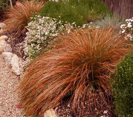 "The attractive green bronze foliage of Carex ""Prairie Fire"" erupts into colour like burning embers"
