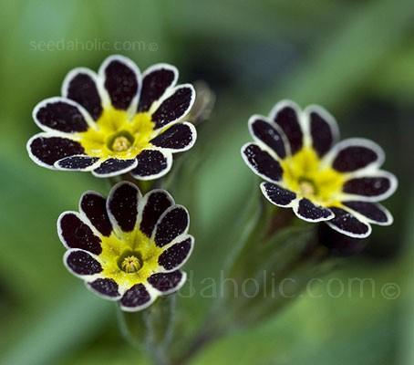 Primula polyanthus elatior 'Gold Lace'