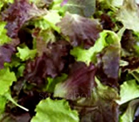 "Baby Leaf Salad Mix - ""Provence Salad"" (Collection)"