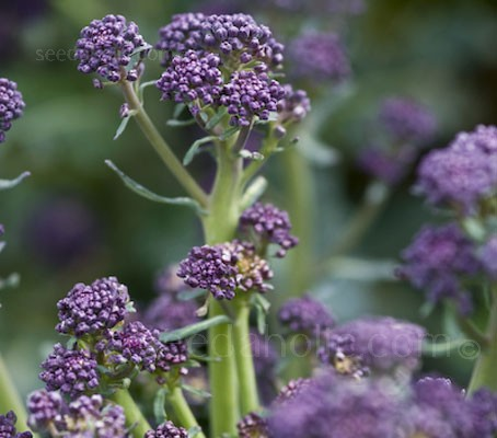 Early Purple Sprouting Broccoli has been selected for its hardiness and flavour.