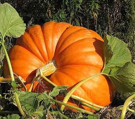 Pumpkin 'Mammoth'