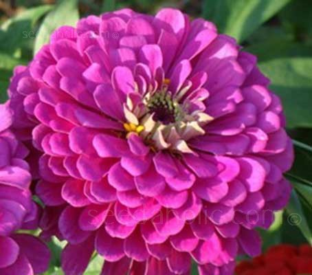 Zinnia elegans 'Purple Prince' feature large 10 to 12cm (4 to 5in) purple blooms.