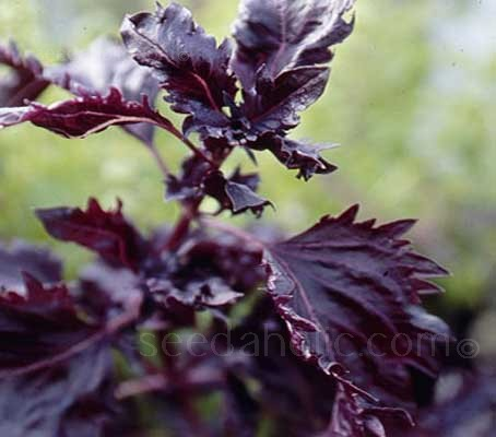 Purple Ruffles has handsome dark purple-black leaves that are heavily ruffled and fringed.
