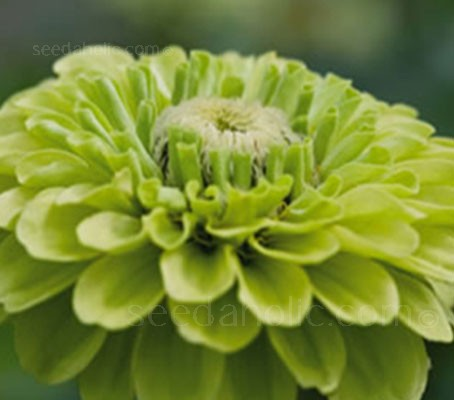 Zinnia 'Queen Lime' is the solid green sister of 'Queen Red Lime', in fashionable chartreuse.