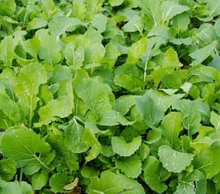 Radish produces masses of green leaf to rot back into the soil as a green manure.