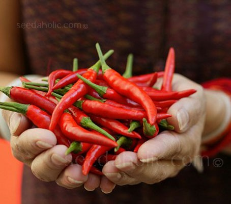 Thin and pointed, Thai Dragon Chillies fruits have green fruits that mature to a deep glossy red colour.