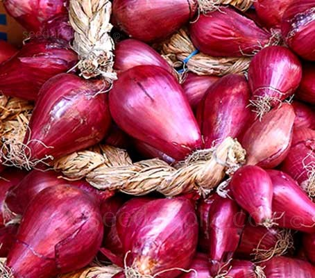 Onion 'Cipolle di Tropea', Sweet Red Onion of Tropea