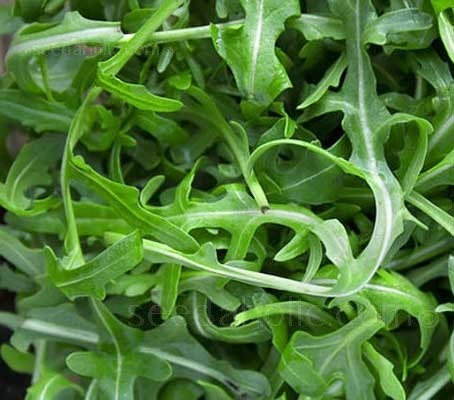 Bred to be faster to mature with the typical indented leaf shape, Rocket 'Scorpion' can be can be quickly grown for micro-greens or babyleaf.
