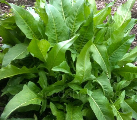 Turkish Rocket is a robust, fast-growing plant and a great, herbaceous addition to permaculture projects