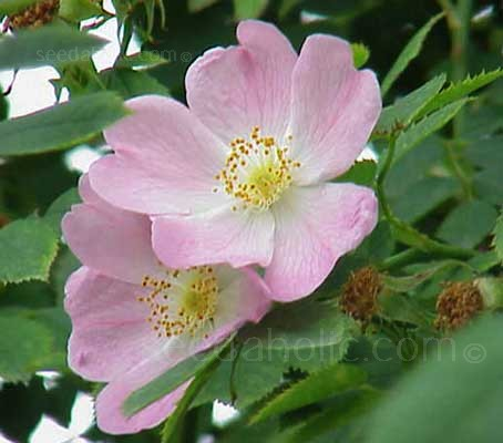 The wild rose bursts with lightly scented, usually flesh pink flowers (though they can be pinker or whitish) in summer.