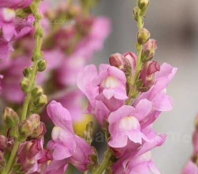 Antirrhinum majus 'Rose' blooms with beautifully soft rose pink flowers.